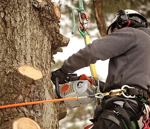 ASAP Complete Tree Service And Landscape Design employee cutting a tree down